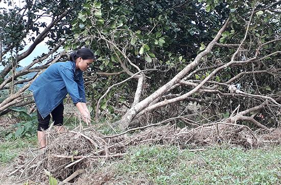 Gia đình bà Nguyễn Thị Năm ở thôn Đại Bình, xã Quế Trung bị thiệt hại nặng khi nhiều gốc trụ hơn 10 năm tuổi bị bão lũ làm ngả rạp, bật gốc. Ảnh: TÂM LÊ