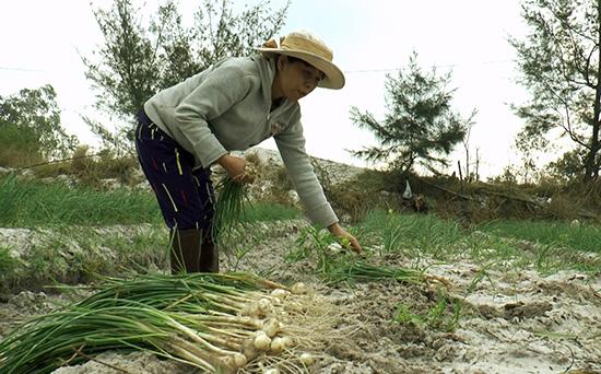 Nông dân thôn Ngọc Tây (Bình Phục) đang thu hoạch nén. Ảnh: BIÊN TOÀN