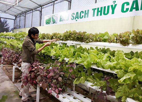 Anh Nguyễn Trịnh Nhân chăm sóc vườn rau thủy canh.Ảnh: C.NỮ