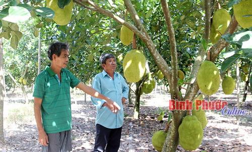 Ông Nguyễn Văn Gặp (bìa trái) chia sẻ cách chăm sóc mít Thái lá bàng với ông Đoàn Văn Hải, Phó Chủ tịch Hội Nông dân thị trấn Chơn Thành.