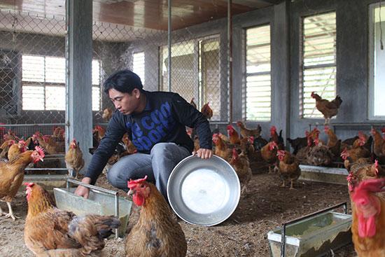 Anh Quang đang chăm sóc đàn gà. Ảnh: LÊ TÌNH.