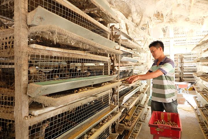 Anh Luận đang thu nhặt trứng chim cút. Ảnh: M.L