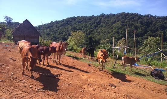Ảnh. Mô hình chăn nuôi bò theo nhóm hộ tại thôn Batư xã Dang