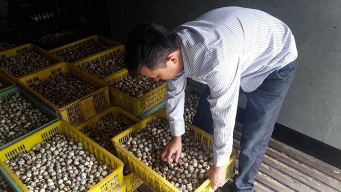 Anh Hạ Văn Nam kiếm tra trứng cút lộn trước khi xuất bán