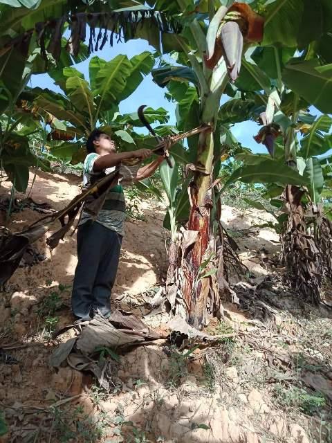 Ông ALăng Bi đang chăm sóc vườn chuối