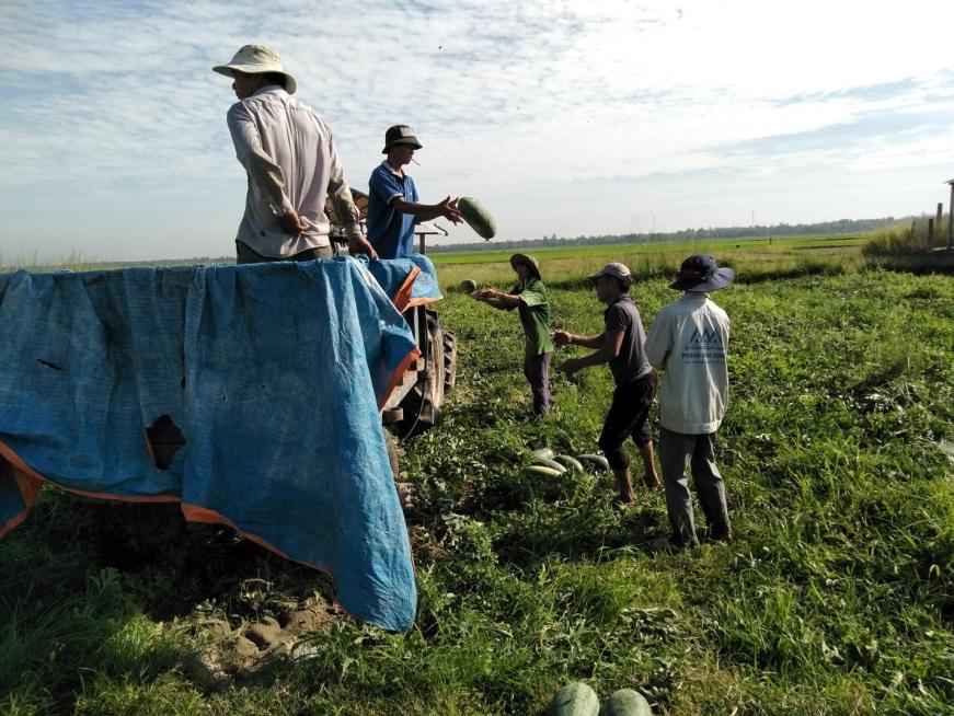 Anh Nhiều đang thu hoạch dưa hấu trên cánh đồng Miếu