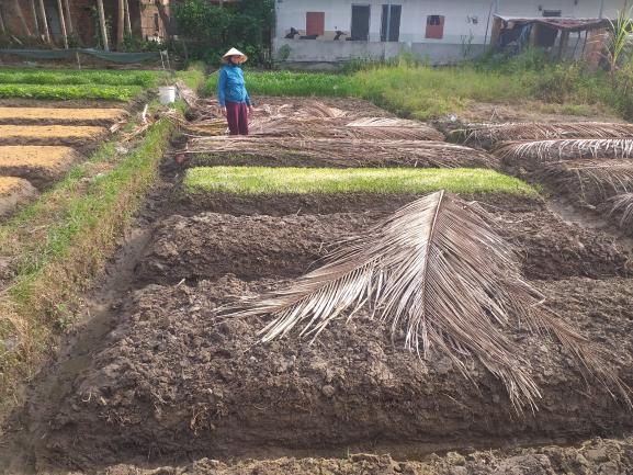 Chị Nguyễn Thị Nga đang dỡ bẹ dừa cho rau mầm