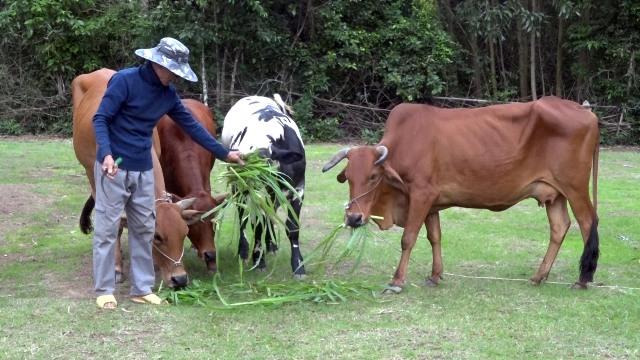 Chuyển hướng sang chăn nuôi bò lai là hướng đi được nhiều hộ chăn nuôi trên địa bàn huyện Thăng Bình lựa chọn để phát triển kinh tế. Ảnh: M.T